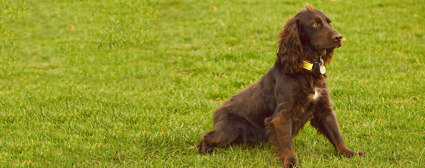 Field Spaniel Dog Breed Facts And Information Wag Dog Walking