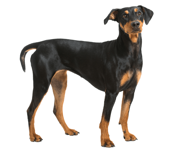 german pinscher dog breed facts and information wag dog walking