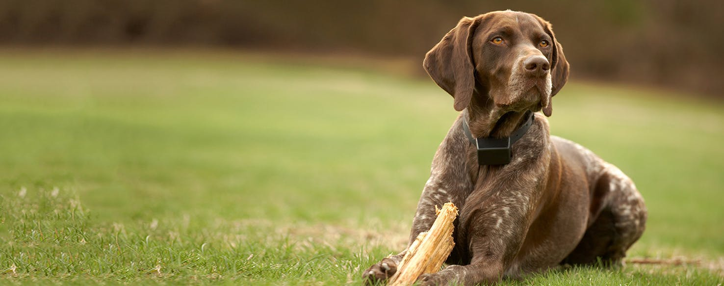 German Shorthaired Pointer | Dog Breed Facts and Information - Wag ...