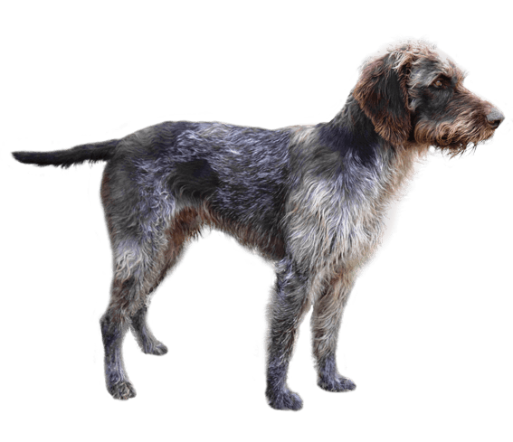 German Wirehaired Pointer Dog Breed Facts And Information Wag