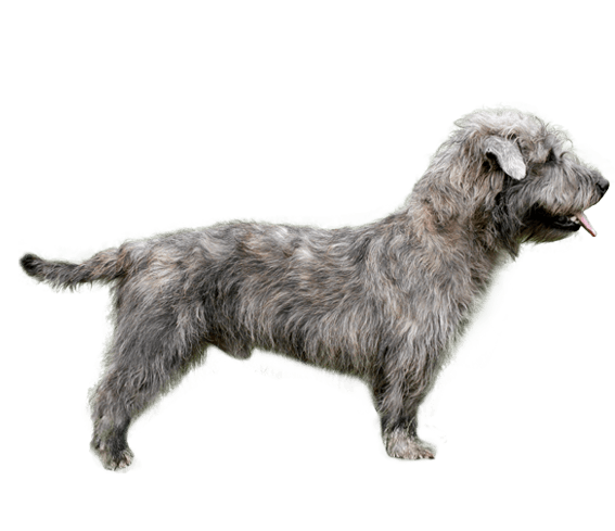 Glen of imaal terrier dog breed facts and information wag dog appearance of glen of imaal terrier altavistaventures