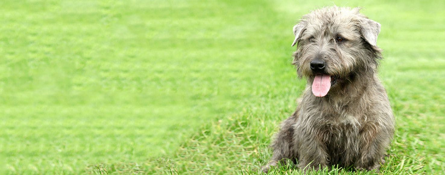 Glen of imaal terrier dog breed facts and information wag dog glen of imaal terrier dog breed facts and information wag dog walking altavistaventures Images