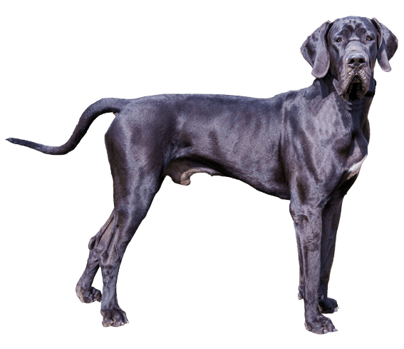 great dane dog breed facts and information wag dog walking