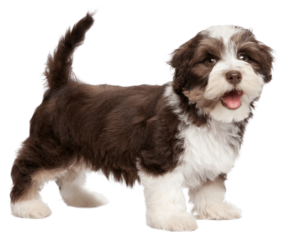 Havanese Dog Breed Facts And