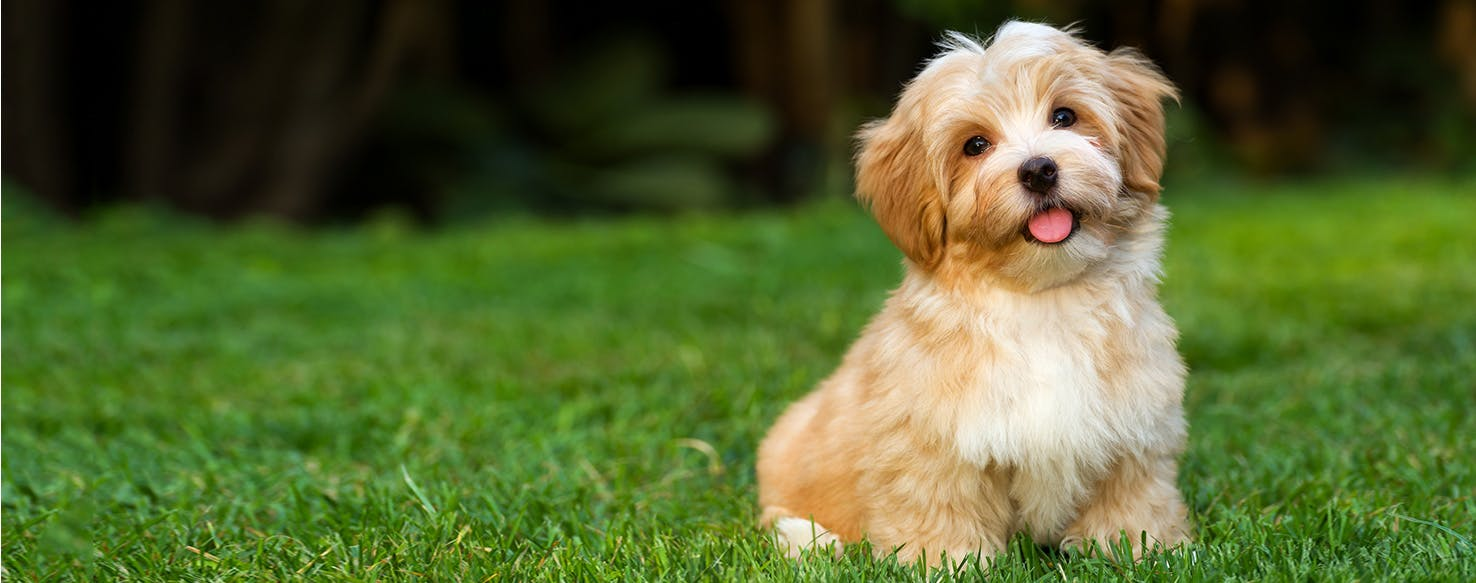 Havanese  Dog Breed Facts and Information  Wag! Dog Walking