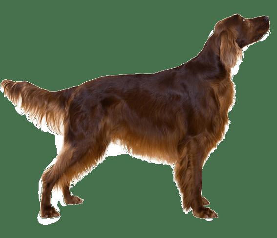 Irish Setter Dog Breed Facts And Information Wag Dog Walking