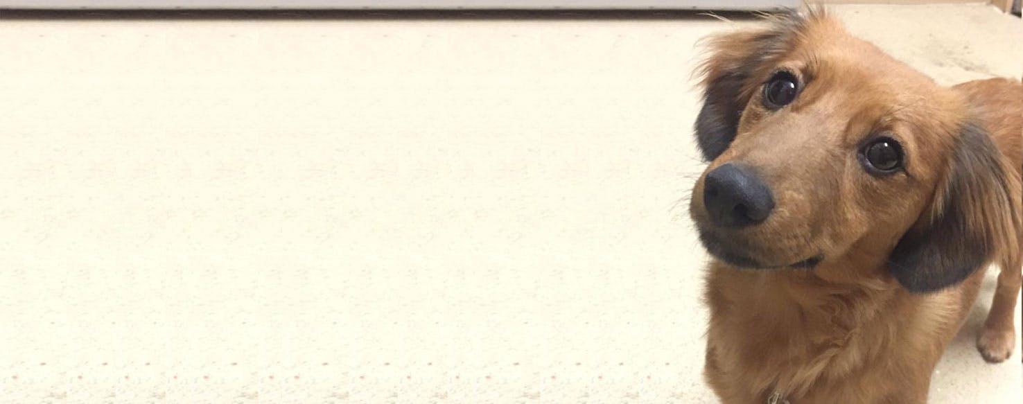 Jackshund Dog Breed Facts And Information Wag Dog Walking