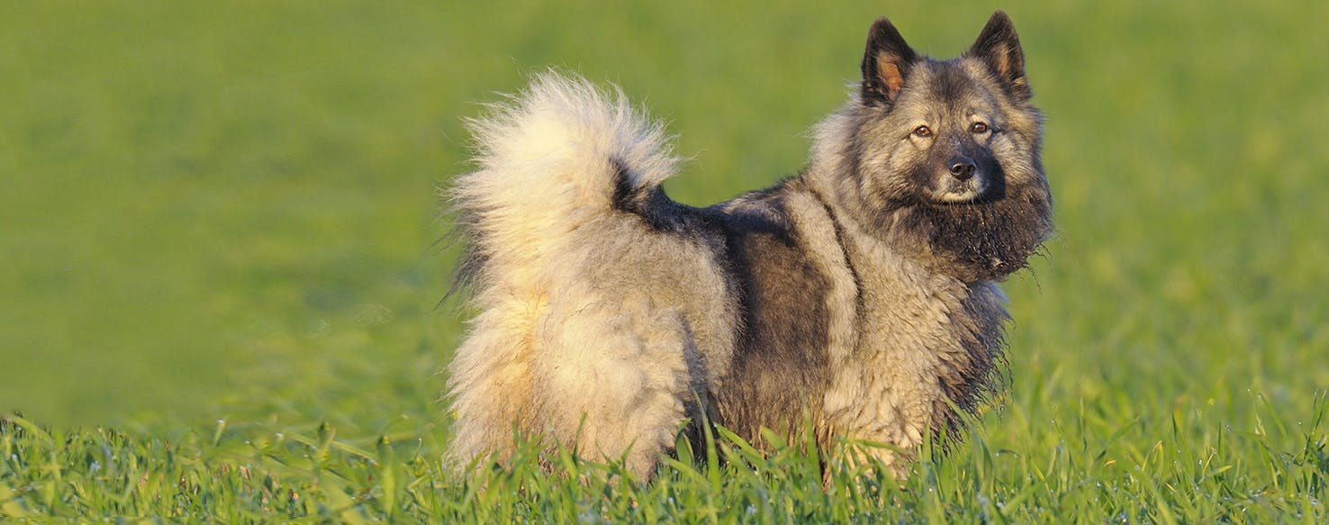 Keeshond Dog Breed Facts And Information Wag Dog Walking