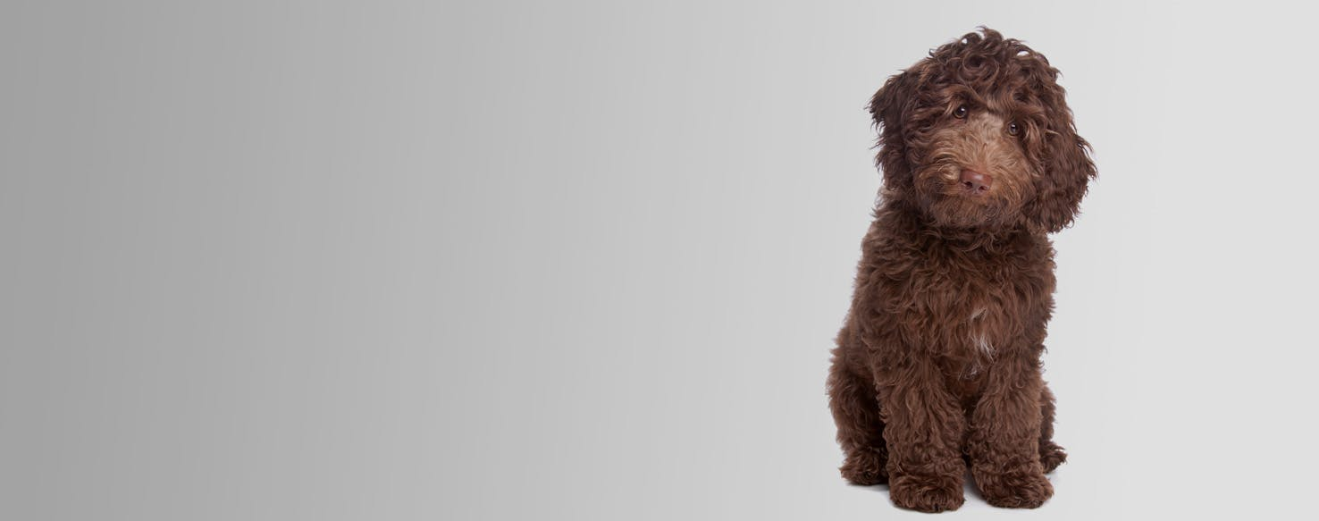 Labradoodle Miniature Dog Breed Facts And Information