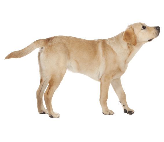 Labrador Retriever Dog Breed Facts And Information Wag Dog Walking