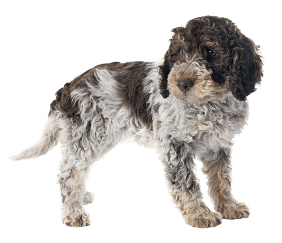 Appearance of Lagotto Romagnolo