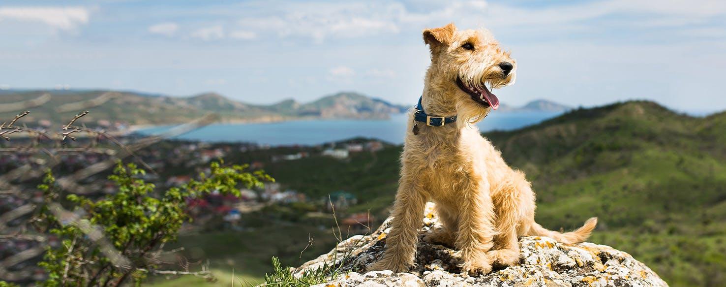 Lakeland Terrier Weight Lakeland Terrier | Dog...