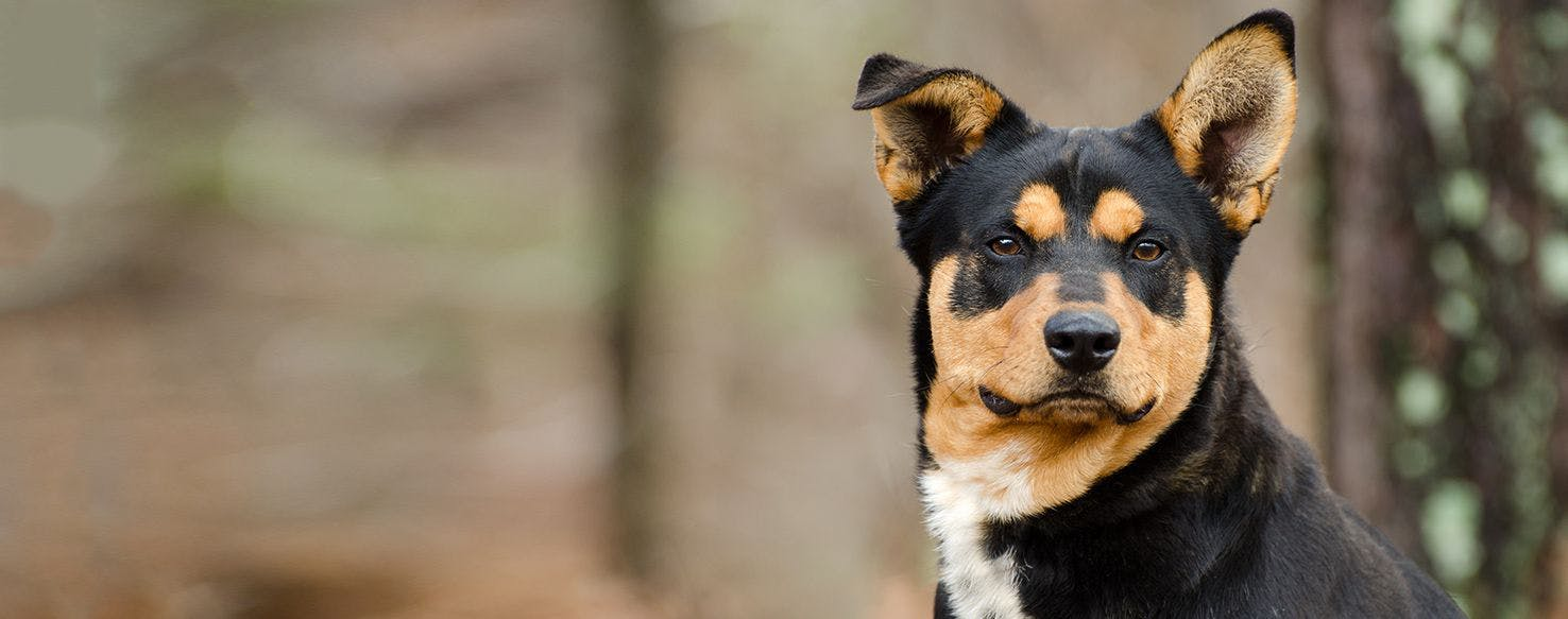 Lancashire Heeler Dog Breed Facts And Information Wag