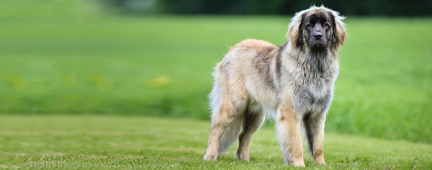 Leonberger | Dog Breed Facts and Information - Wag! Dog ...