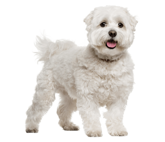 maltese dog breed facts and information wag dog walking