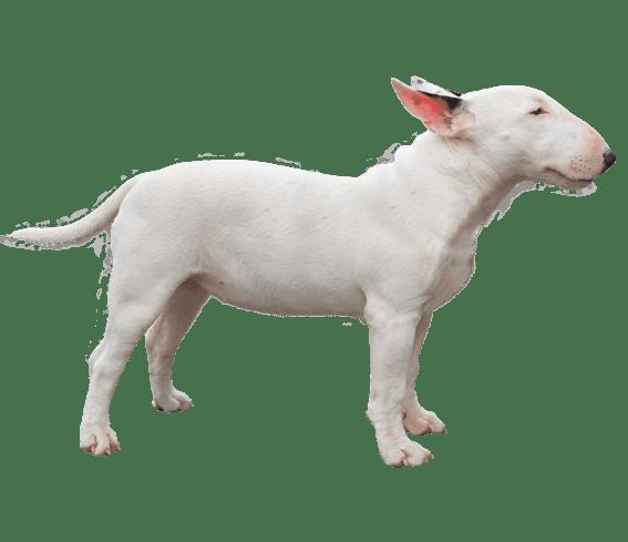 Miniature Bull Terrier Dog Breed