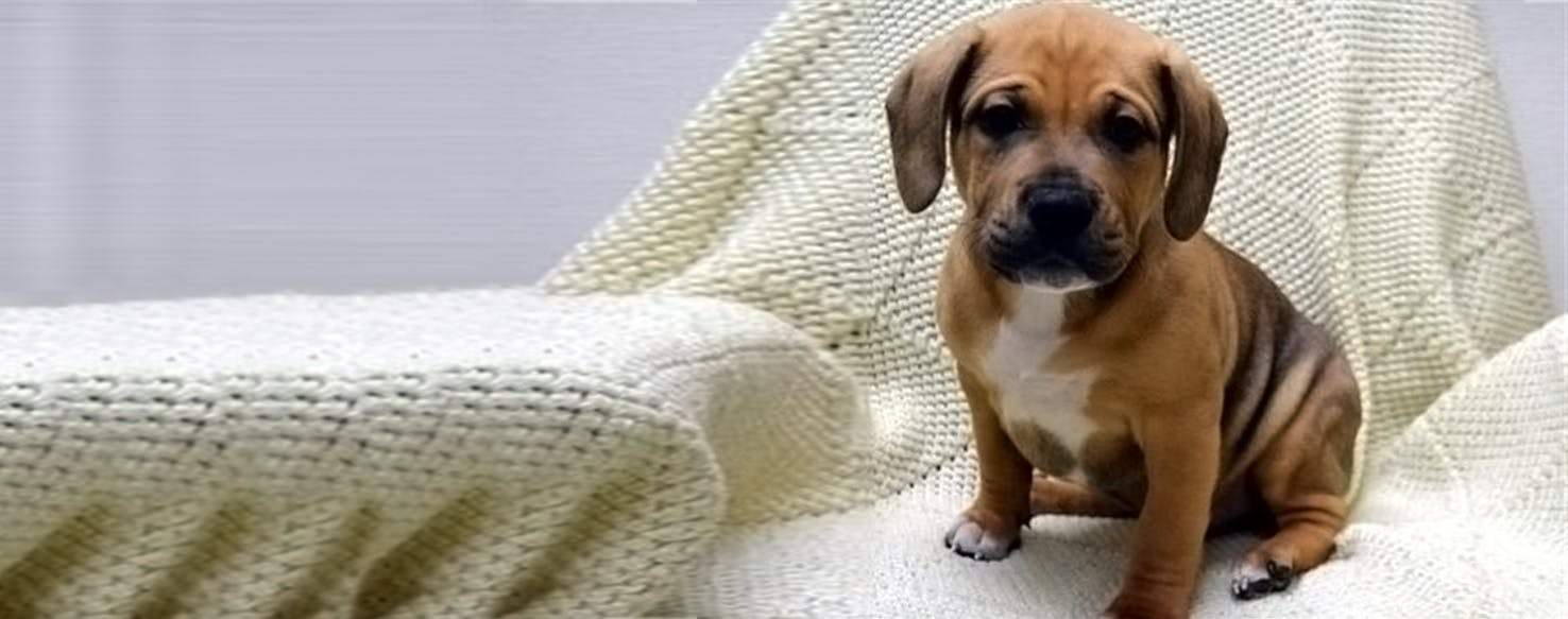 Miniature English Bulldach | Dog Breed Facts and Information - Wag ...