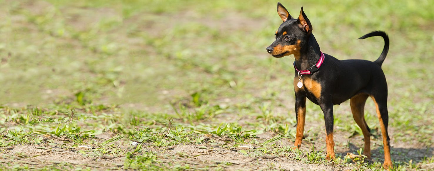 Miniature Pinscher Dog Breed Facts And Information Wag Dog Walking