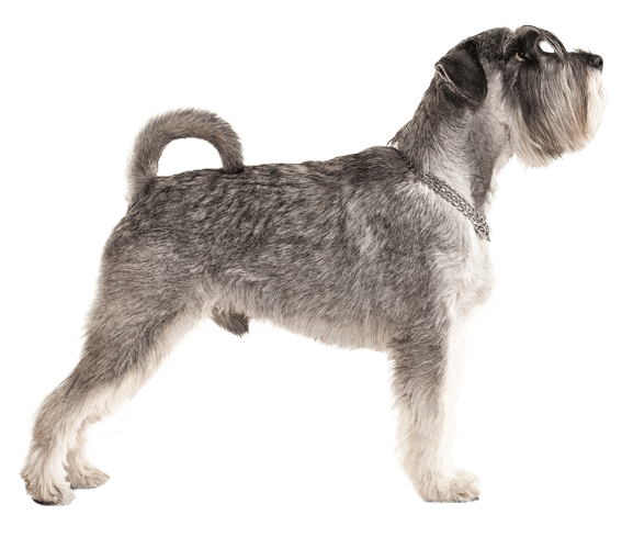 Miniature Schnauzer Dog Breed Facts And Information Wag Dog Walking