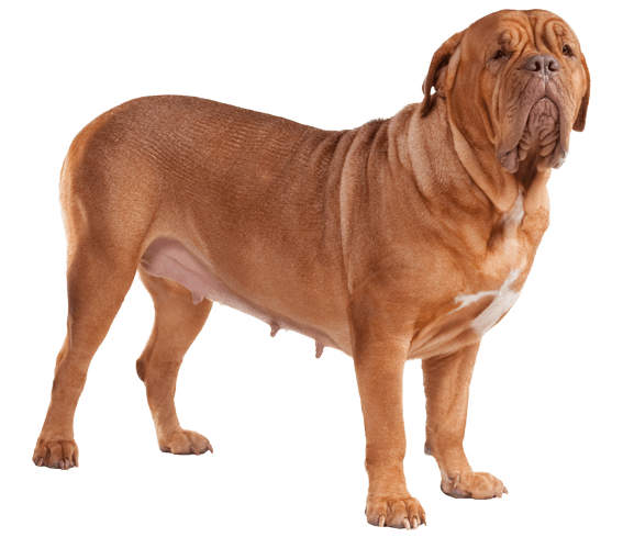 Neapolitan Mastiff Dog Breed Facts And Information Wag Dog Walking