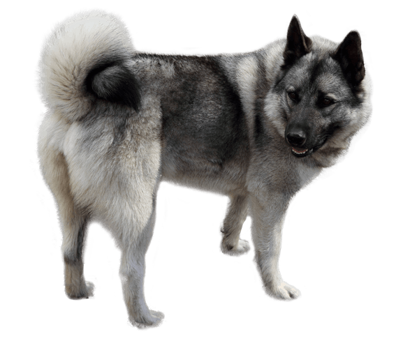 norwegian elkhound dog breed facts and information wag dog walking