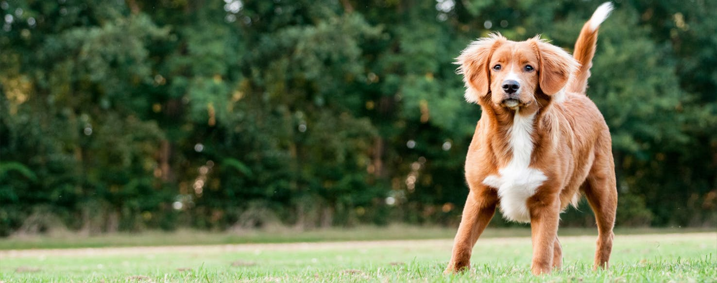 Nova Scotia Duck Tolling Retriever Dog Breed Facts And