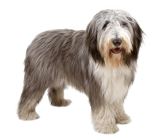 Old English Sheepdog | Dog Breed Facts and Information - Wag