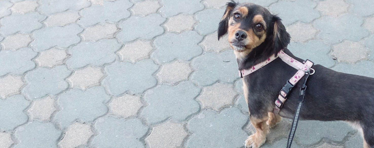 Pekehund | Dog Breed Facts and Information - Wag! Dog Walking