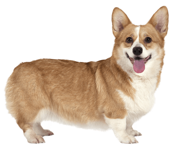 pembroke welsh corgi dog breed facts and information wag dog
