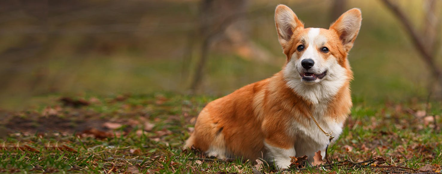 Pembroke welsh corgi dog breed facts and information wag dog pembroke welsh corgi dog breed facts and information wag dog walking altavistaventures Image collections