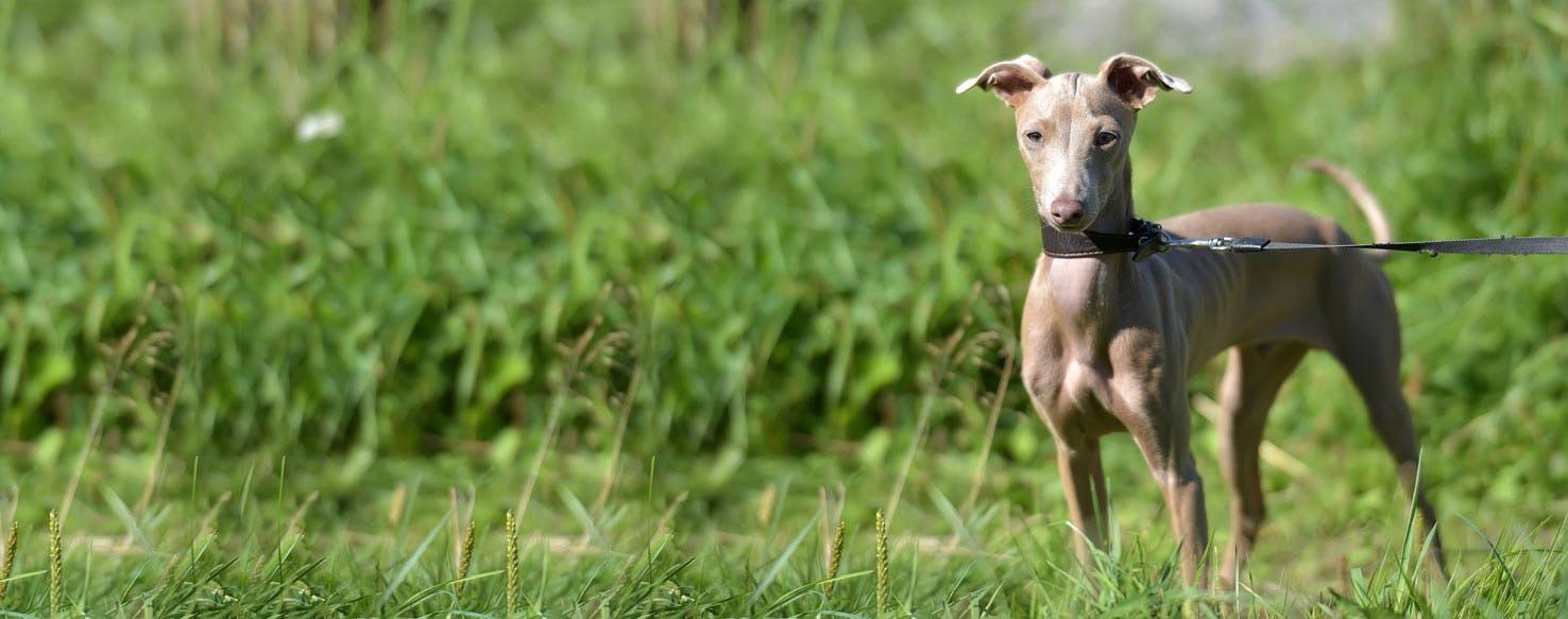 Peruvian Hairless Dog Breed | Info | Characteristics