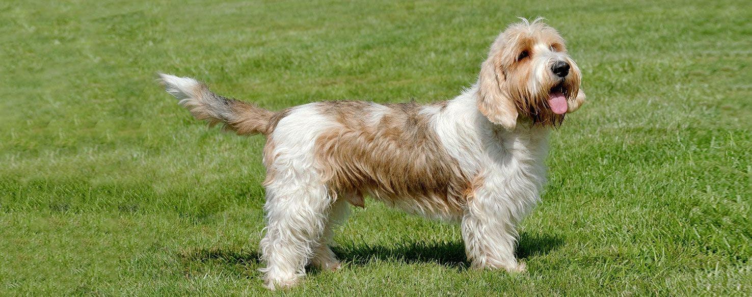 Petit basset griffon vendeen dog breed facts and - Petit basset griffon vendeen breeders toulon ...