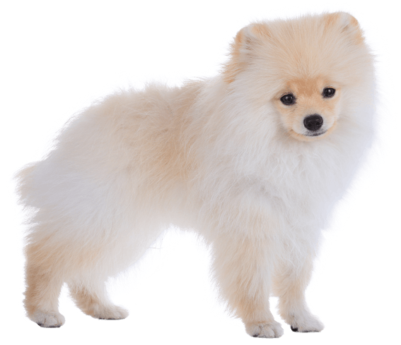 Pomeranian Dog Breed Facts And Information Wag Dog Walking