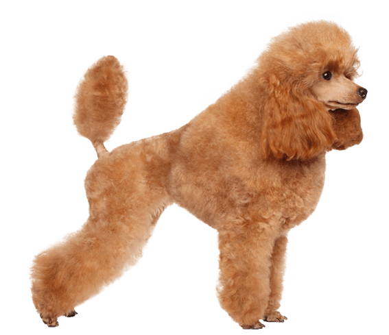 Poodle Dog Breed Facts And Information Wag Dog Walking