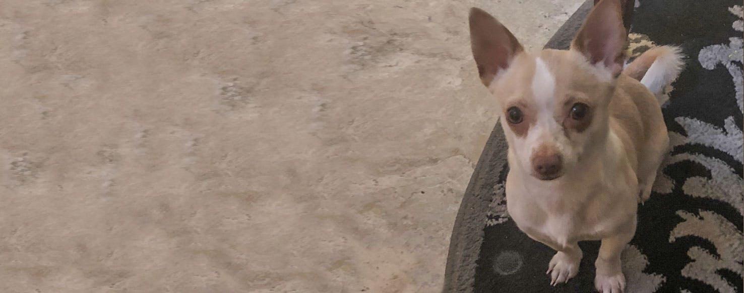 Rat Cha Dog Breed Facts And Information Wag Dog Walking