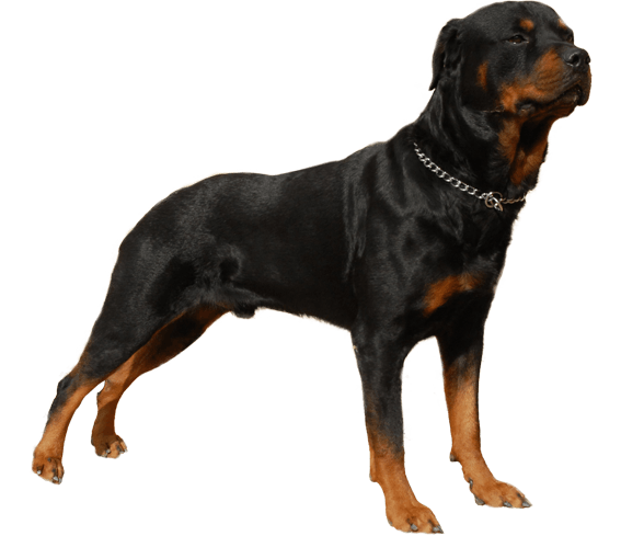 Rottweiler Dog Breed Health History Appearance