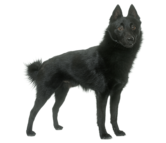 Schipperke Dog Breed Facts And Information Wag Dog Walking