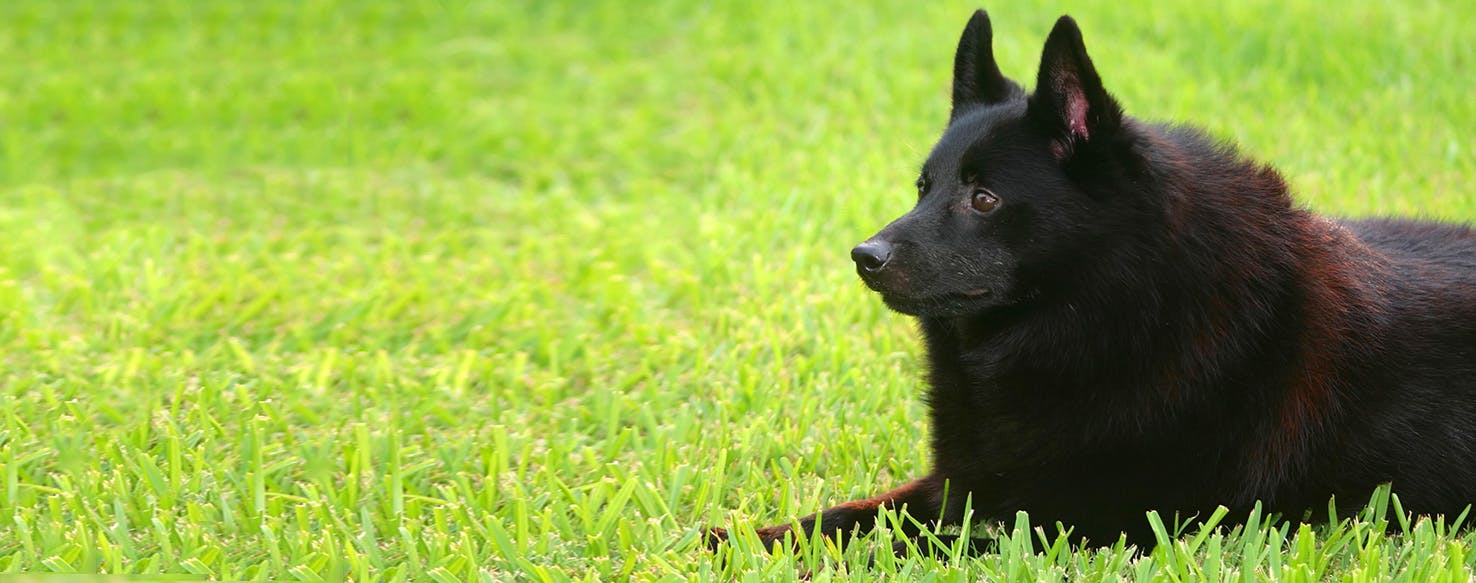 Schipperke Dog Breed Facts And Information Wag Dog