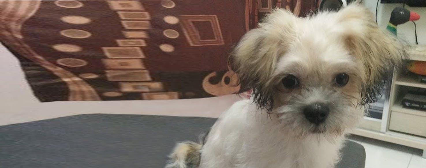 Schnau Tzu Dog Breed Facts And Information Wag Dog Walking