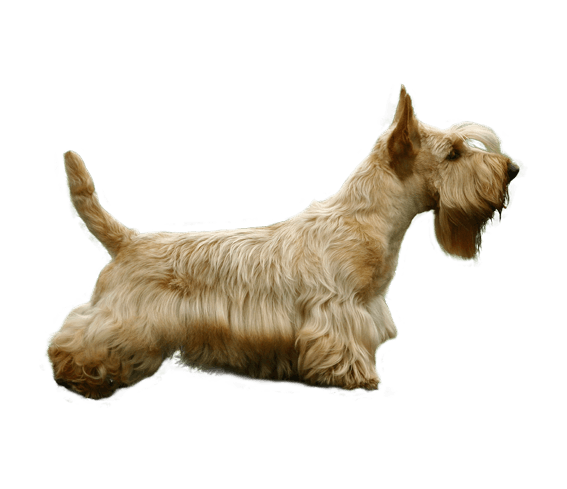 Appearance of Scottish Terrier