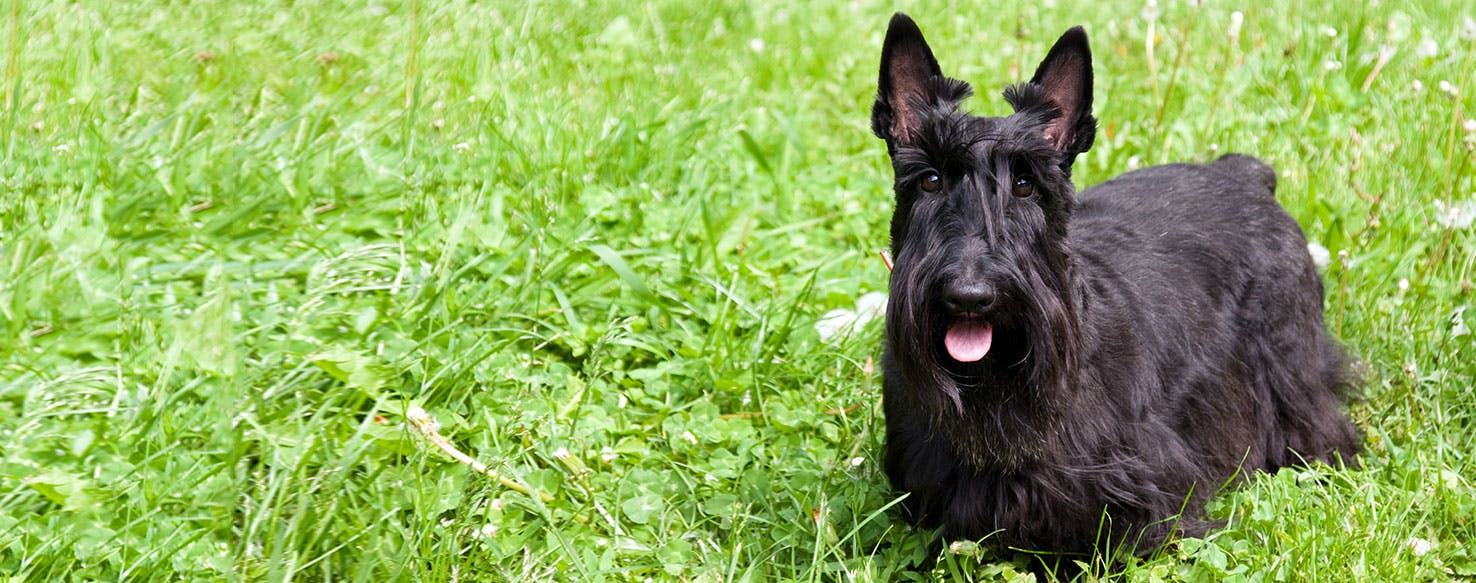 Scottish Terrier - Dog Breed Health, History, Appearance, Temperament, and  Maintenance
