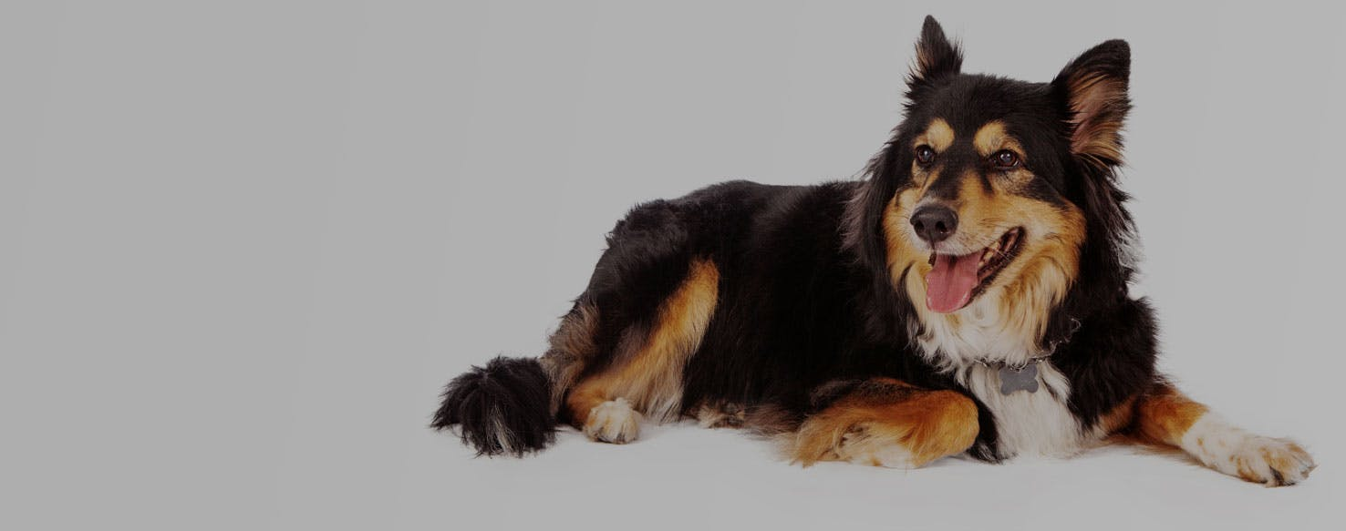 Sheltie Shepherd Dog Breed Facts And