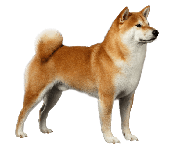 Shiba Inu Dog Breed Health History Appearance