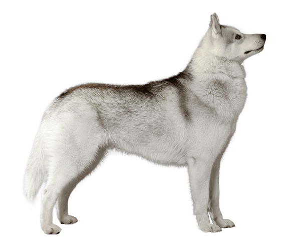 Siberian Husky Dog Breed Facts And Information Wag Dog Walking