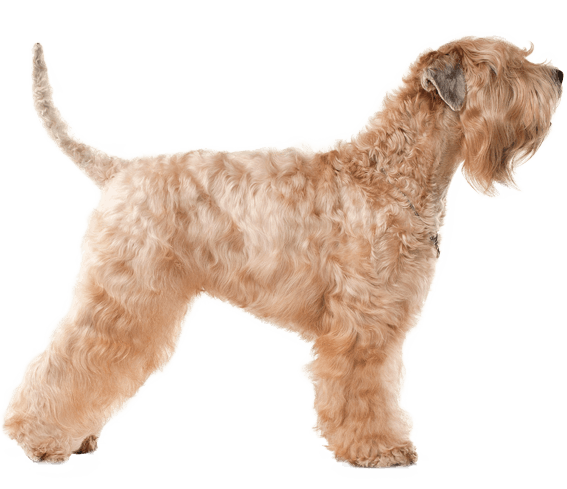 Soft Coated Wheaten Terrier Dog Breed Facts And Information Wag Dog Walking