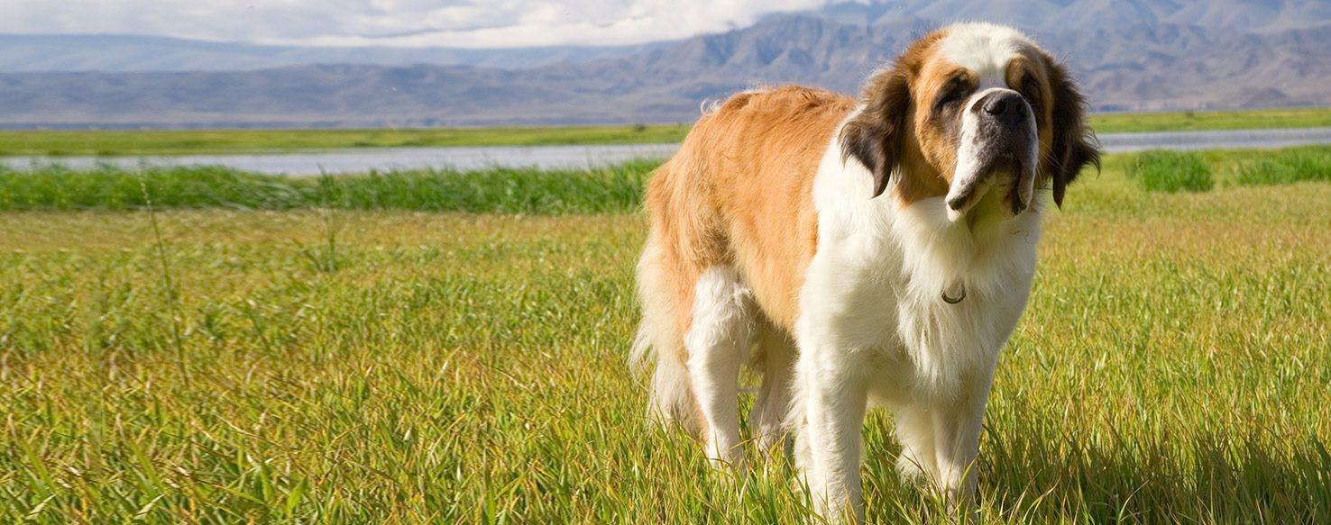 Saint Bernard | Dog Breed Facts and Information - Wag! Dog