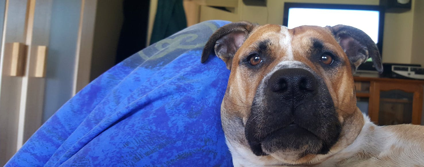 Staffy Bull Bullmastiff | Dog Breed Facts and Information