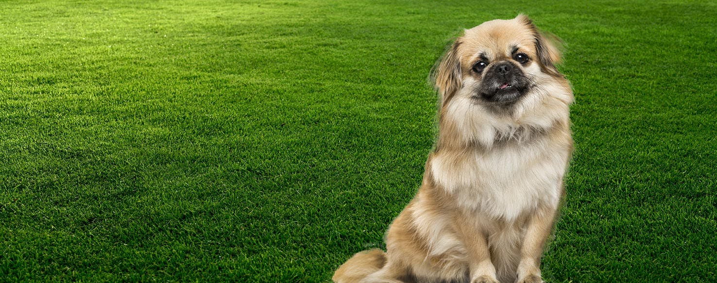 Tibetan Spaniel Dog Breed Facts And Information Wag