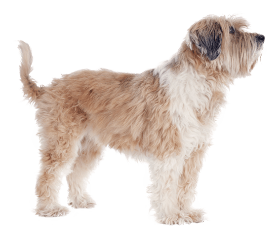 Tibetan Terrier Dog Breed Facts And Information Wag Dog Walking