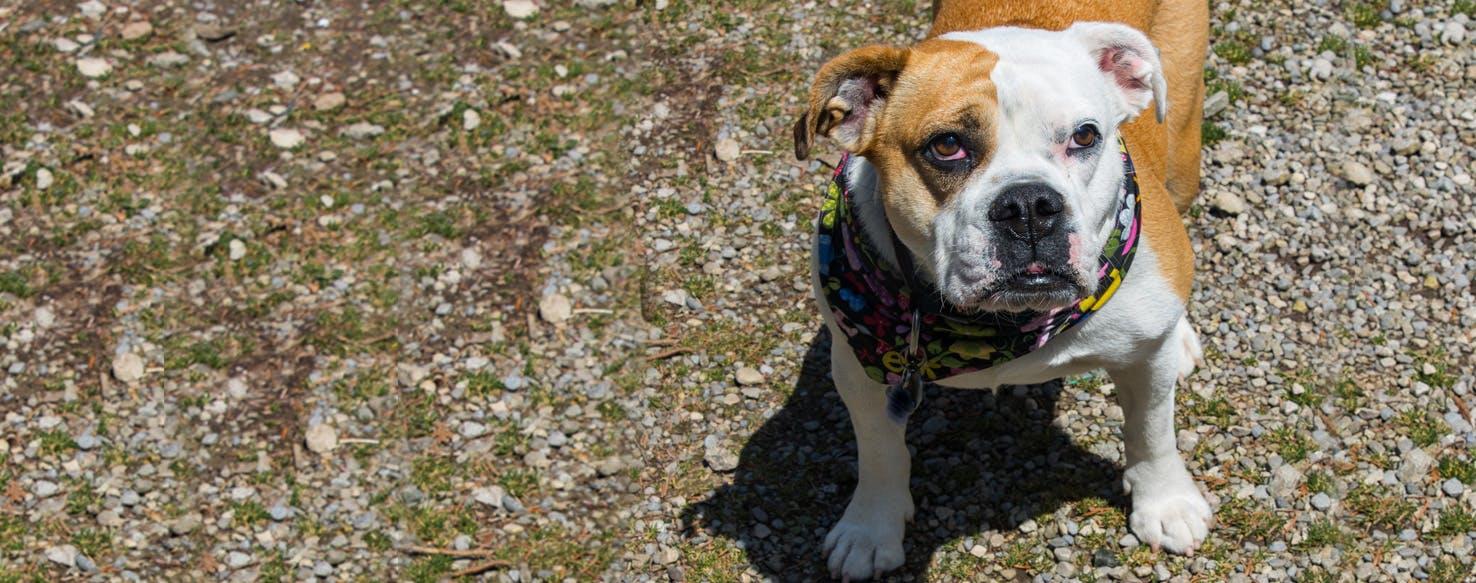 Victorian Bulldog Dog Breed Facts And Information Wag Dog Walking